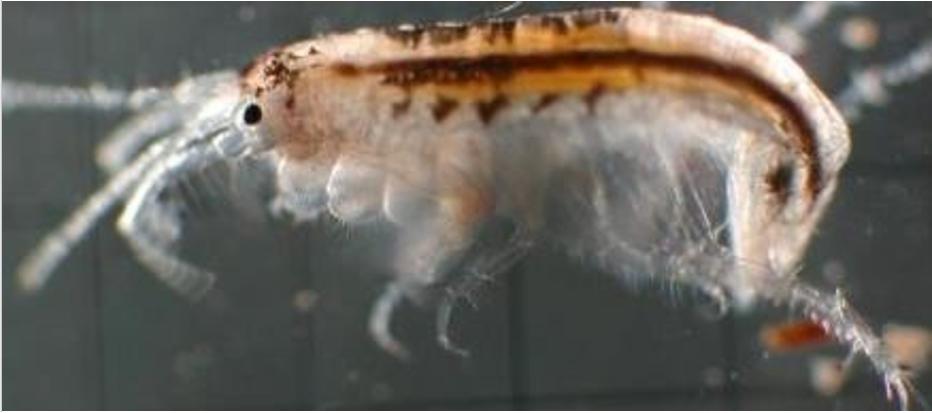 Amphipoda: bioindicador da qualidade dos sedimentos